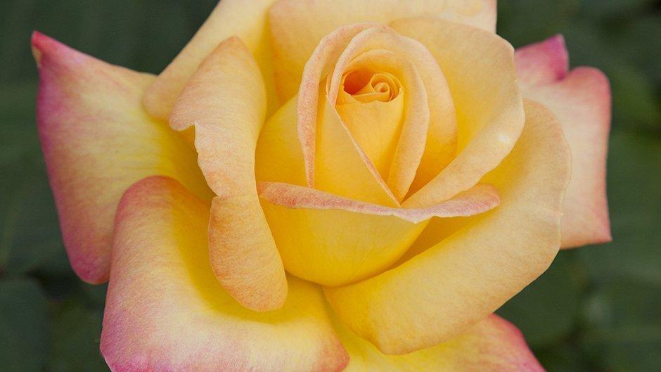 rosier jardin pullman orient express baipeace meilland international. Black Bedroom Furniture Sets. Home Design Ideas
