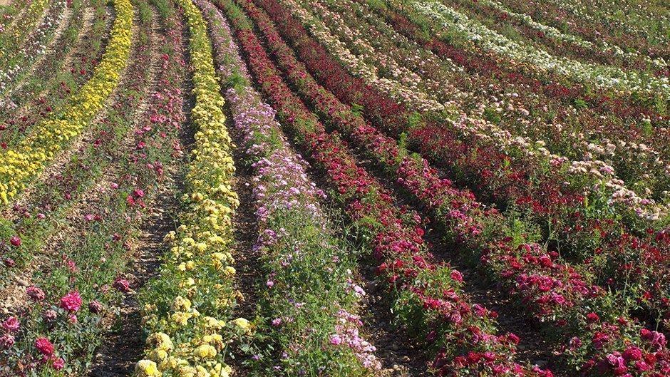 Philippine rose vente par correspondance
