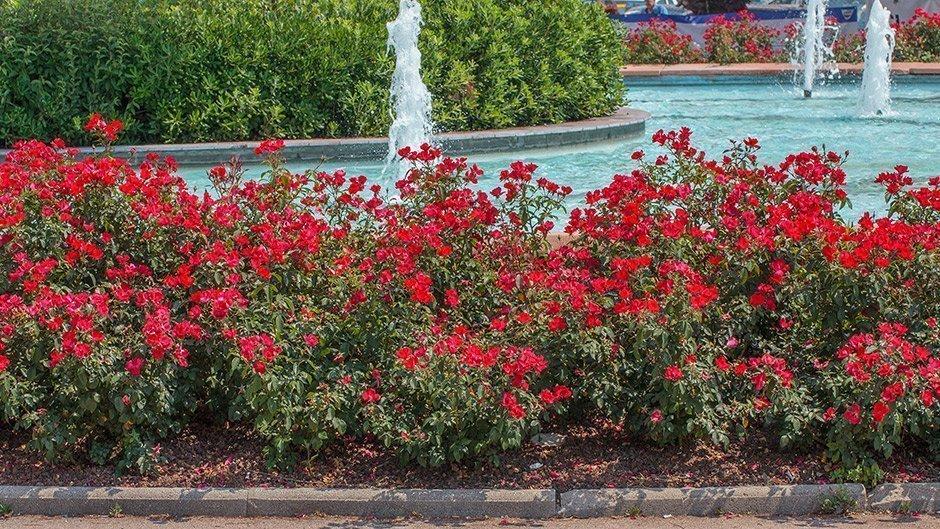 Meidiland 174 Roses Meilland International