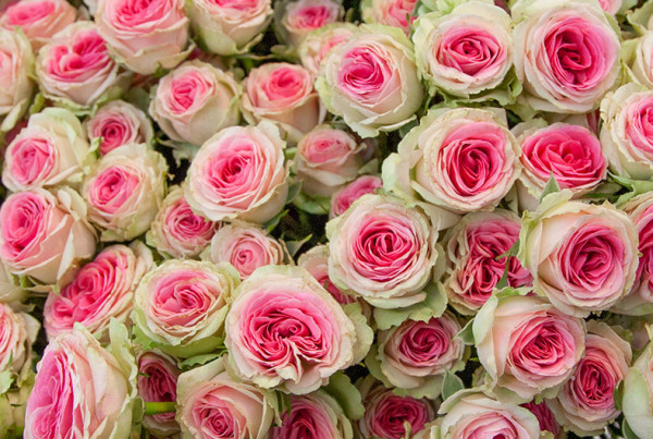 Vari 233 T 233 S De Roses Fleur Coup 233 E Meilland International