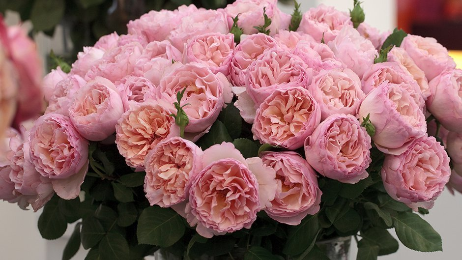 Romantica roses meilland international for Rose meilland