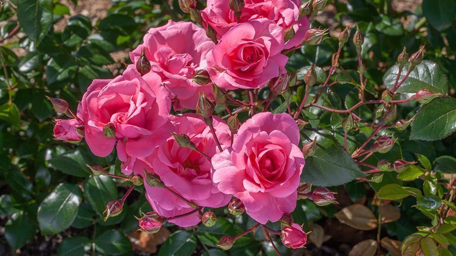 Фотообои на рабочий стол цветы розы тем