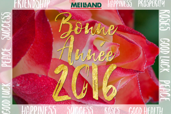 Meilland Happy New Year 2016