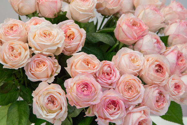 cut flowers and florist roses varieties meilland international