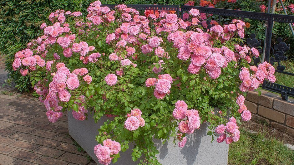 Rosier jardin sweet drift meiswetdom meilland international - Petit rosier en pot ...