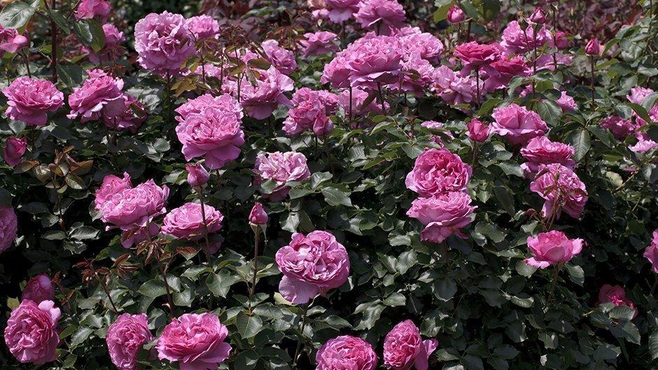 rosier jardin gpt yves piaget keitsupiatsu meilland. Black Bedroom Furniture Sets. Home Design Ideas