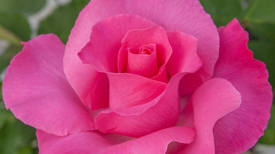 rosier jardin the mc cartney rose meizeli meilland international. Black Bedroom Furniture Sets. Home Design Ideas