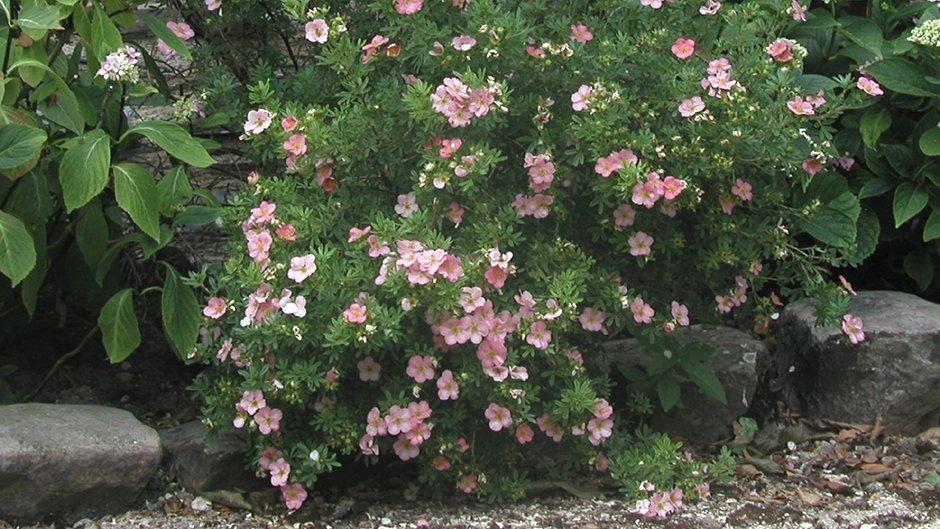 Potentilla LOVELY PINK Var Pink Beauty SELECTION NEW PLANT