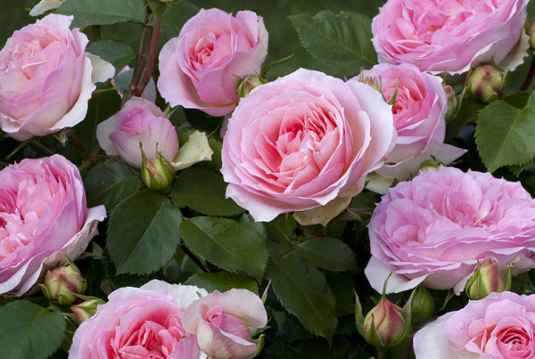 Garden roses for Rose meilland