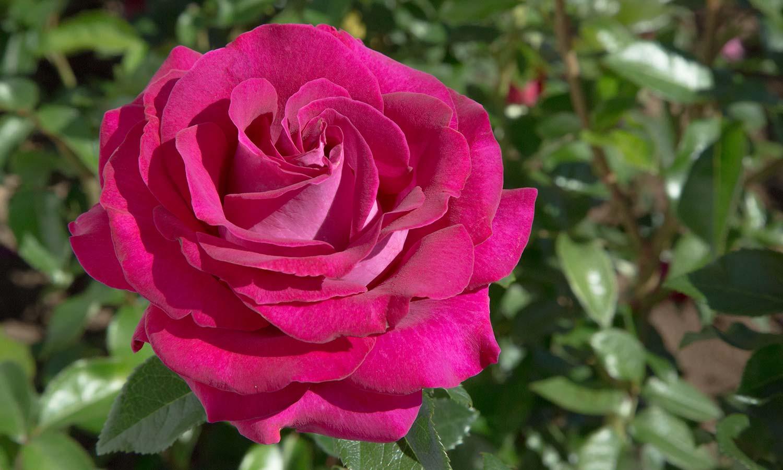 Meilland Roses varietes jardin Belles Rives Meizolnil