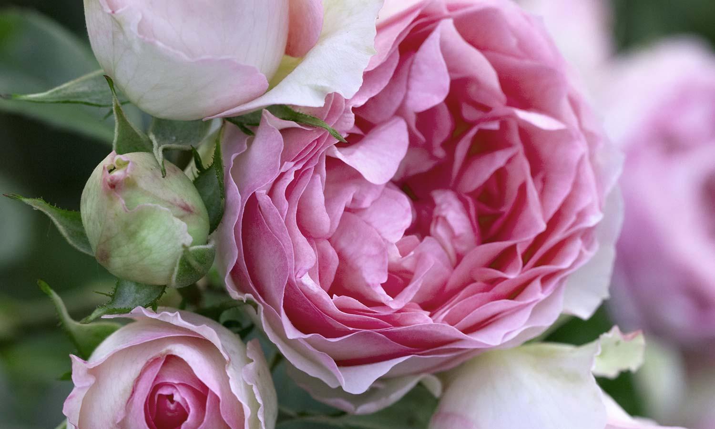 Meilland Roses varietes jardin Gp Mini Pierre de Ronsard Meibigboni