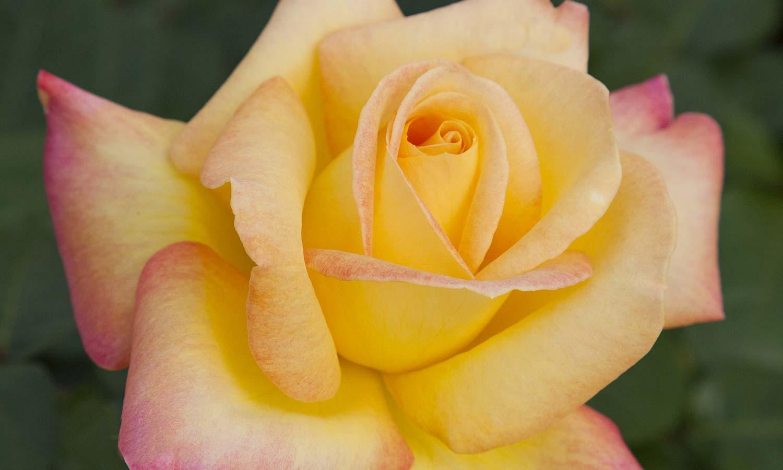 Meilland Roses varietes jardin Gp Pullman Orient Express Baipeacesar