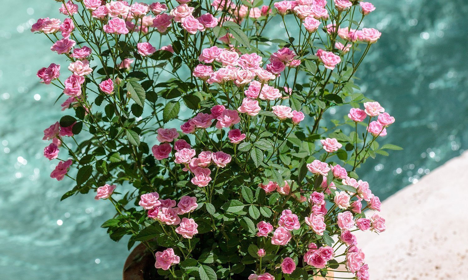 Meilland Roses varietes jardin Lilly Rose Wonder 5