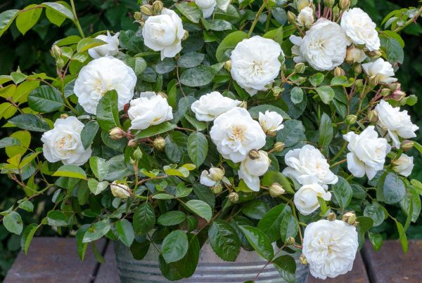 Super Garden Roses &GO_28