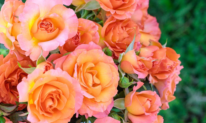 Meilland Roses varietes jardin Message d'Espoir Meishamalo